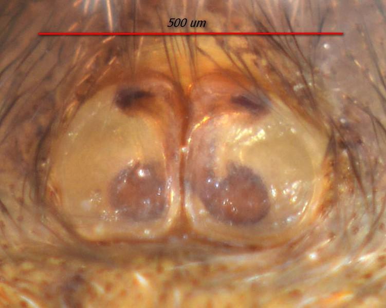 Salpesia squalida ♀ epigyne