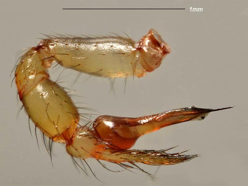 Scytodes thoracica ♂