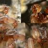 Loxosceles rufescens  ♂
