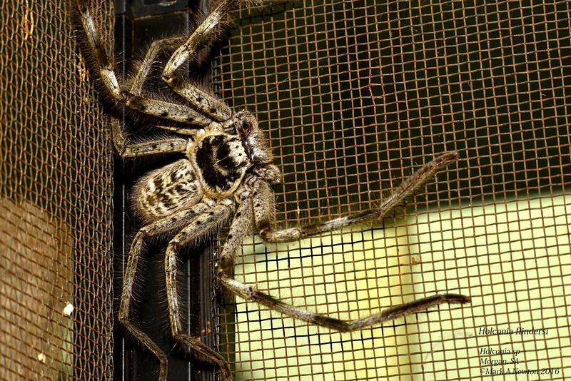 Holconia flindersi  ♂
