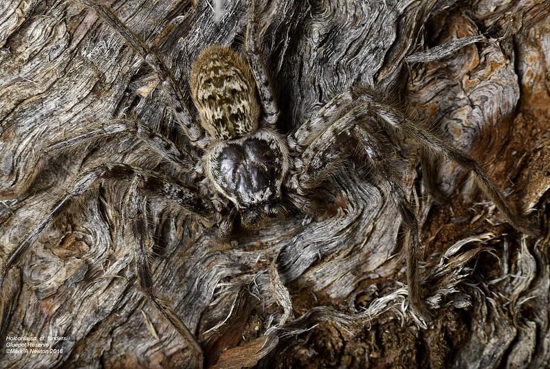 Holconia flindersi ♀