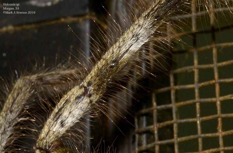 Holconia flindersi ♂  leg closeup