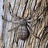 Isopedella cerussata    -  adult female