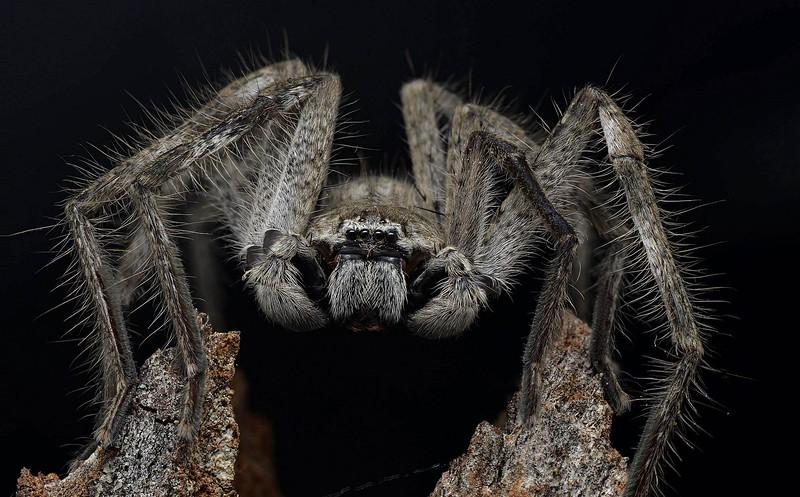 Isopedella cerussata ♂