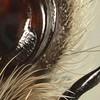 Isopedella cerussata ♂  palp detail