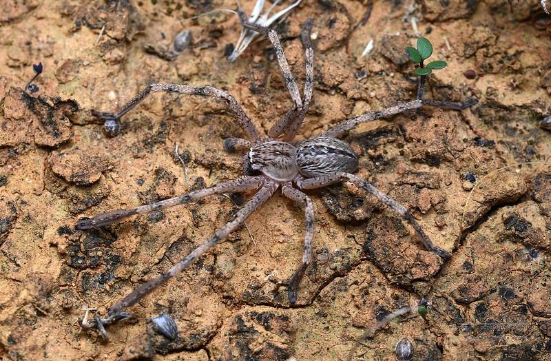 Neosparassus sp. cf. pictus