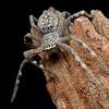 Neosparassus sp5 cf calligaster