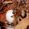 Neosparassus sp4  with egg sac