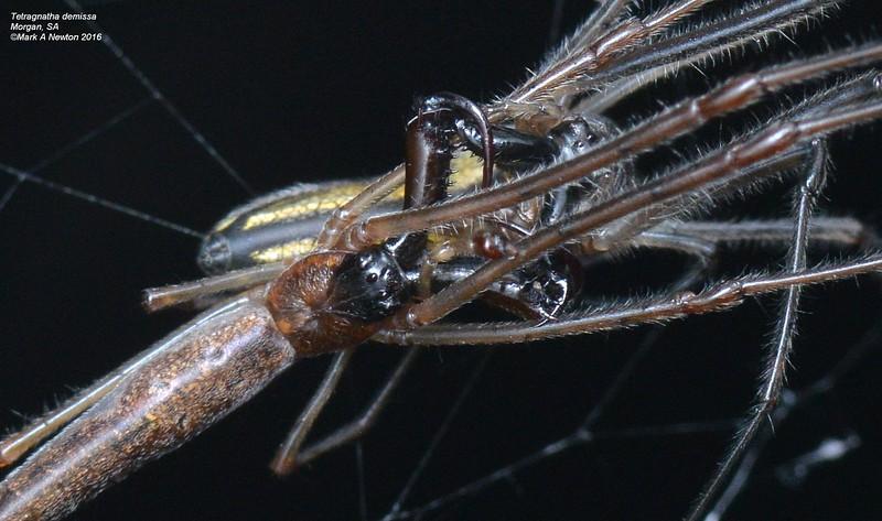 Tetragnatha demissa  ♂ ♀ mating
