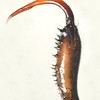 Tetragnatha demissa ♂  chelicera