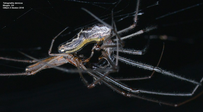 Tetragnatha demissa ♂ ♀ mating - note palp insertion