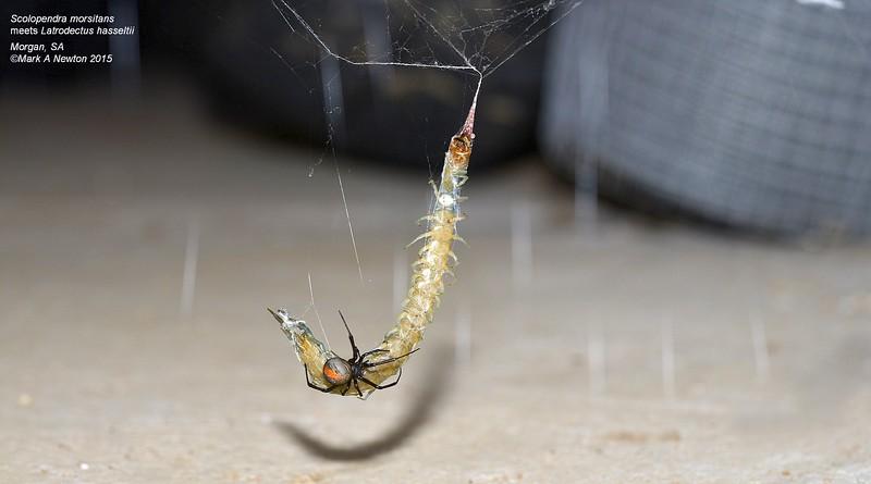Latrodectus hasselti ♀ with Scolopendra morsitans prey.