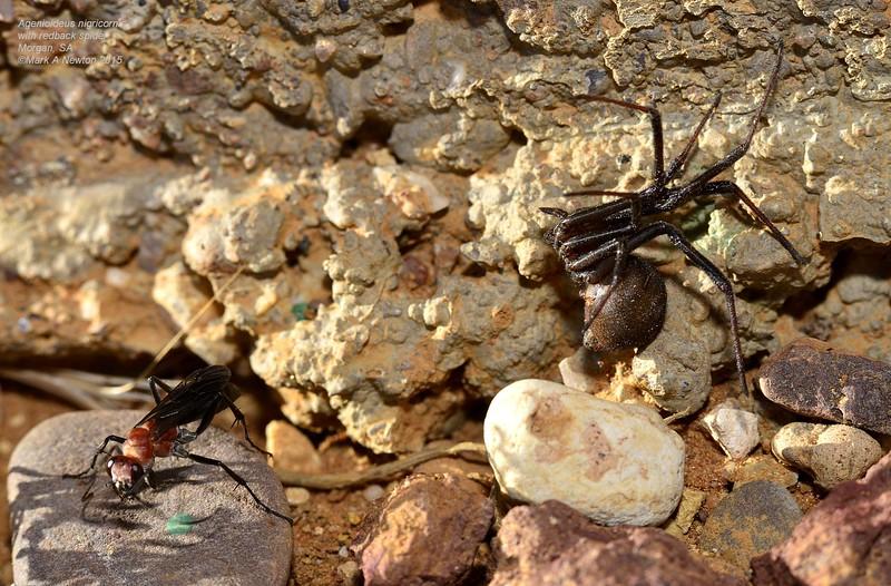 Latrodectus hasselti ♀ paralysed by the specialist Redback spider wasp (Agenioideus nigricornis)