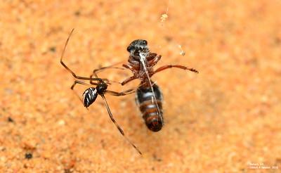 Latrodectus hasselti (juvenile) with velvet ant as prey