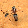 Latrodectus hasselti (juvenile) with velvet ant as prey