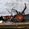 Latrodectus hasselti ♀ paralysed by the specialist Redback spider wasp (Agenioideus nigricornis)