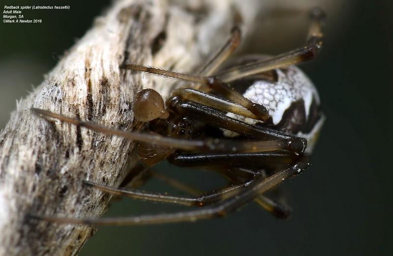 Latrodectus hasselti ♂ subadult