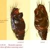 Steatoda capensis ♂ palp