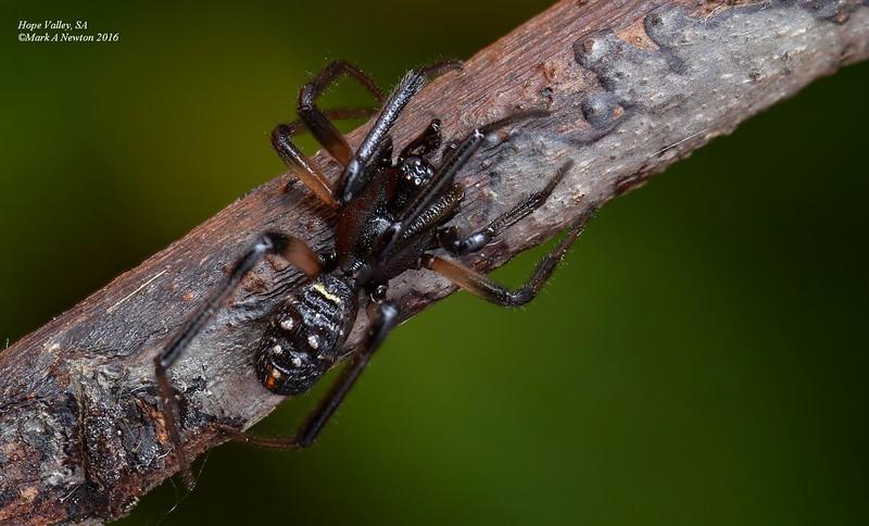 Steatoda capensis ♂