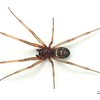 Steatoda grossa (adult male)