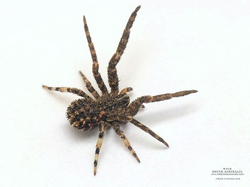 Stephanopis sp (3.5mm juvenile)