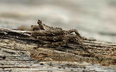 Stephanopis sp (male)  5.5mm