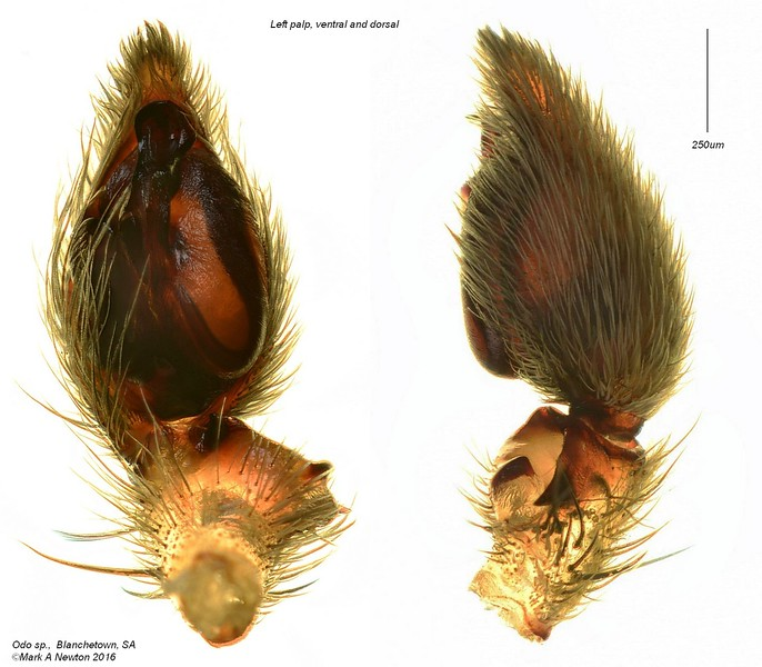 Odo sp (male) palp