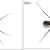 Iridomyrmex lividus mimic