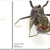 Iridomyrmex viridiaeneus mimic