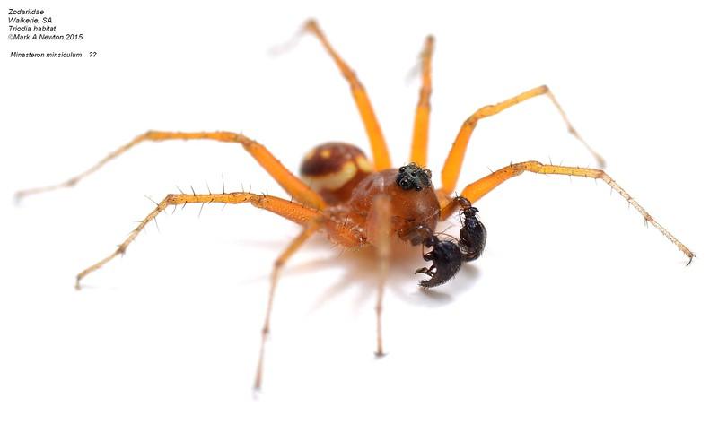 Minasteron sp. cf. minisculum ♂