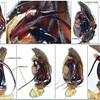 Neostorena sp1 ♂ Neostorena sp1 ♂ Palp comparison