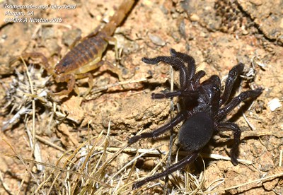 Idommata sp. cf. scintillans juvenile encounters an Isometroides scorpion