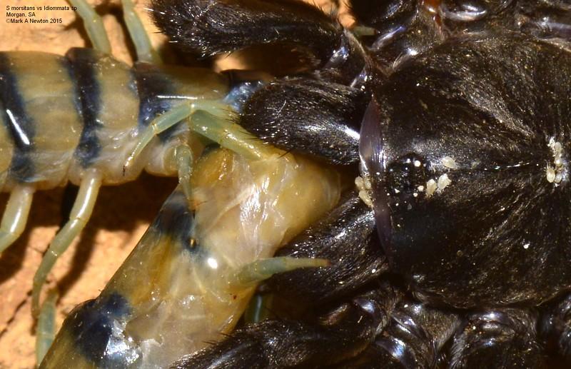 Idommata sp. cf. scintillans ♀ victim of Scolopendra morsitans