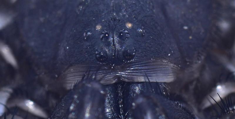 Aganippe smeatoni ♂