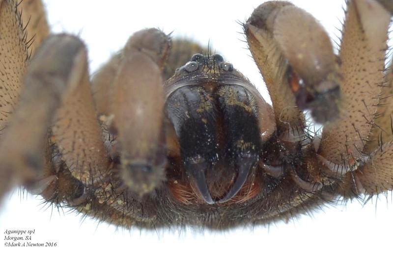 Aganippe sp1 ♂