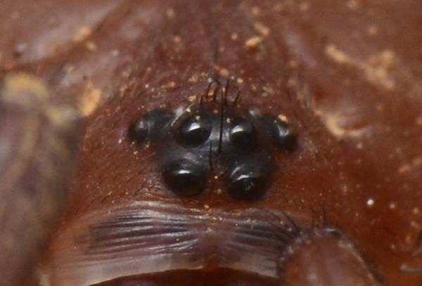 Aganippe sp2 ♂