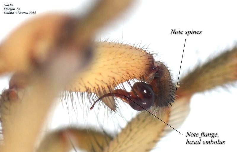 Blakistonia aurea ♂ palp