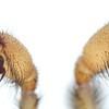 Blakistonia aurea ♂