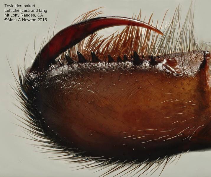 Teyloides bakeri  chelicera