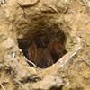 Selenocosmia stirlingi  (adult female in burrow)