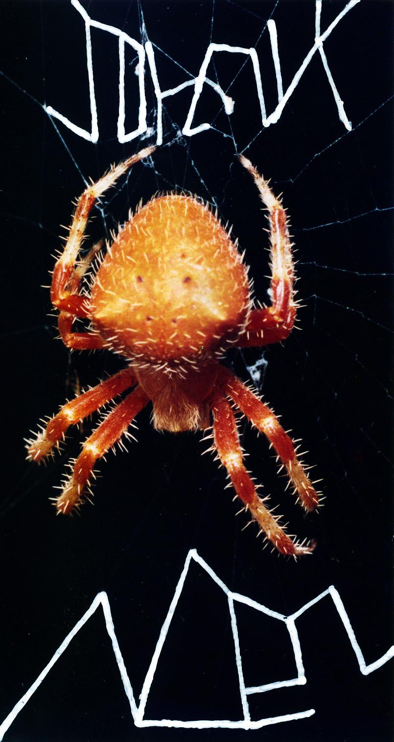 "Holiday greetings from a European (apparently French) Garden Spider (<a href=""http://www.spiders.us/species/araneus-diadematus/""><i><u>Araneus diadematus</u></i></a>) in Santa Barbara"