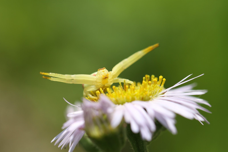 "Crab Spider looking to give a ""hug"" to an unsuspecting insect."