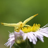 """Crab Spider looking to give a """"hug"""" to an unsuspecting insect."""