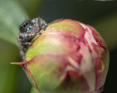 Jumping Spider on peony bloom.