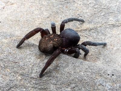 Velvet Spider (Eresidae sp.)