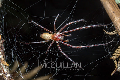 Sheet web spider (Cambridgea foliata)