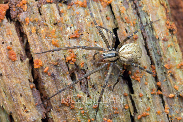 Sheet web spider (Cambridgea sp)