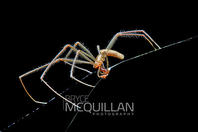 Male Tetragnatha sp (long jawed spider)