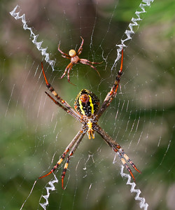 St.Andrew's Cross spider - 4561