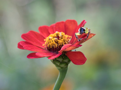 Green Jumping Spider with Yellow Shouldered Lady Beetle -3297